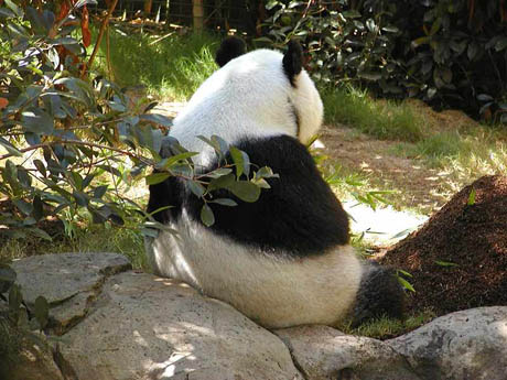 Picture of Giant Panda at San Diego Zoo